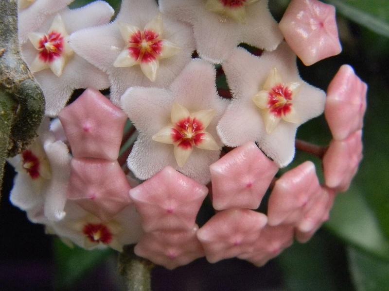 Hoya carnosa Hoy510