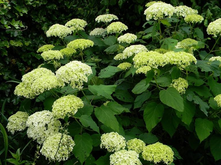 Hydrangea arborescens 'Annabelle' Ju6910