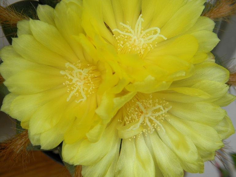 Notocactus magnificus Magni112