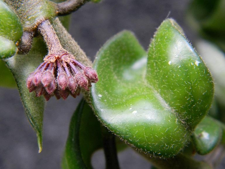 Hoya carnosa compacta Pgr1710
