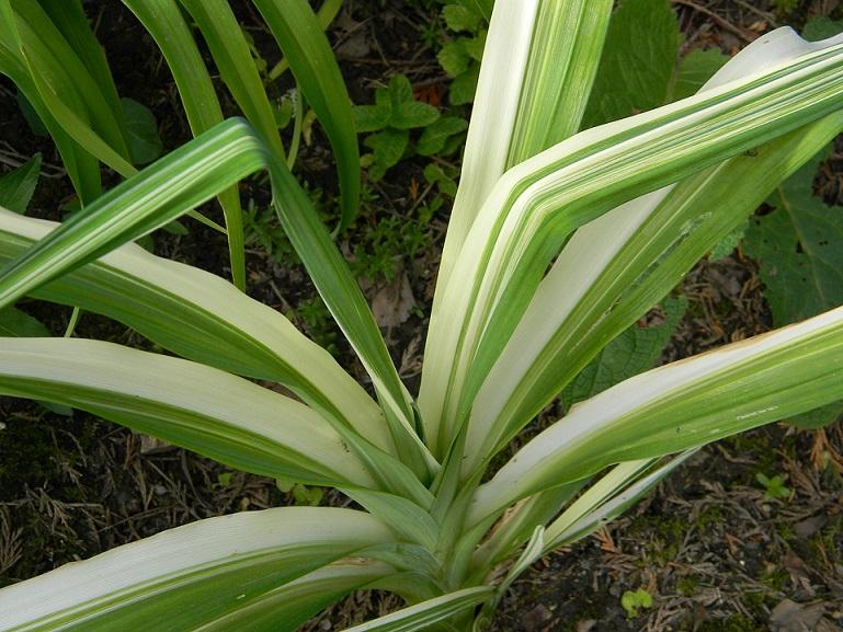 Hemerocallis - des variétés - Page 6 Varie110