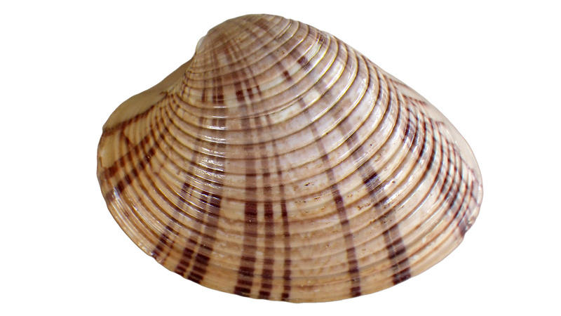 Callista erycina - (Linnaeus, 1758) Imgp0345
