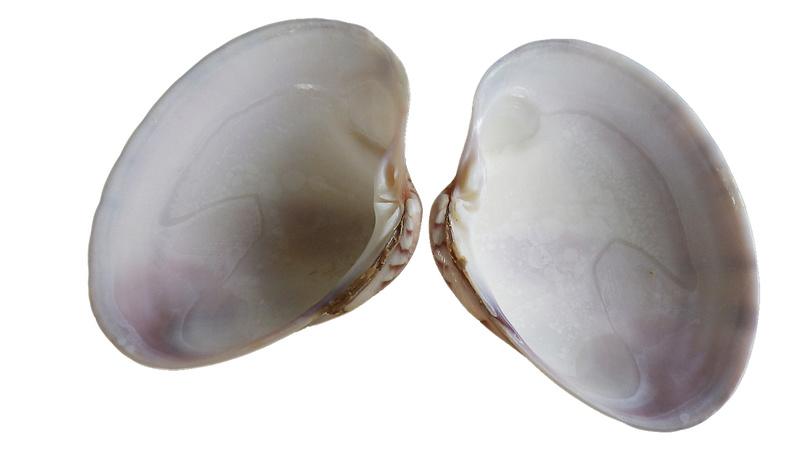 Callista erycina - (Linnaeus, 1758) Imgp0347