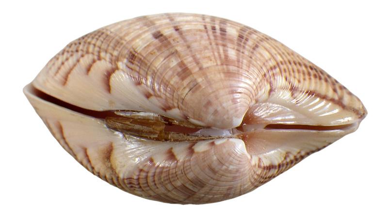 Callista erycina - (Linnaeus, 1758) Imgp0348