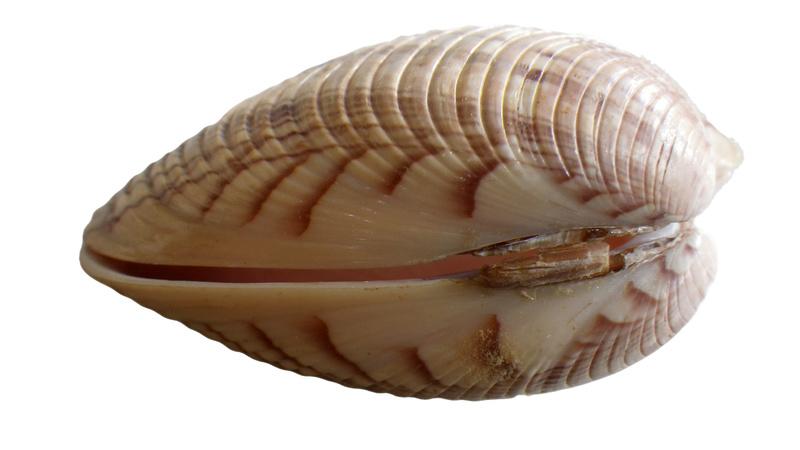 Callista erycina - (Linnaeus, 1758) Imgp0349