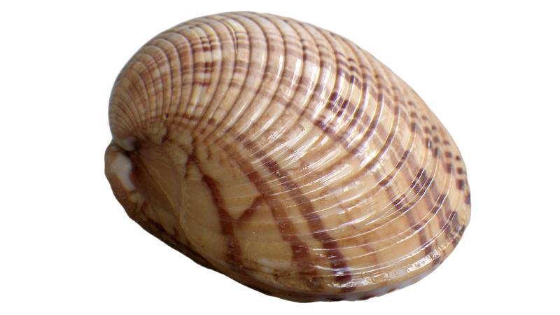 Callista erycina - (Linnaeus, 1758) Imgp0350