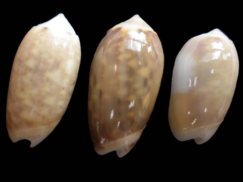 Galeola carneola f. adspersa (Dautzenberg, 1927) voir Galeola carneola (Gmelin, 1791) Imgp0916