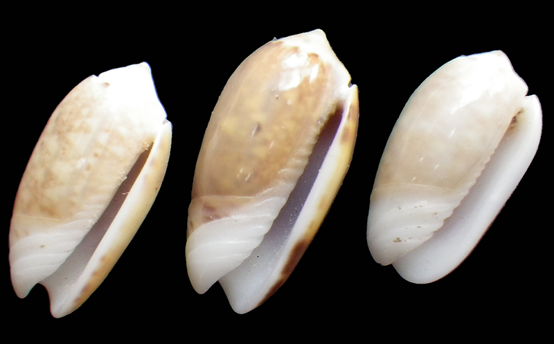 Galeola carneola f. adspersa (Dautzenberg, 1927) voir Galeola carneola (Gmelin, 1791) Imgp0917