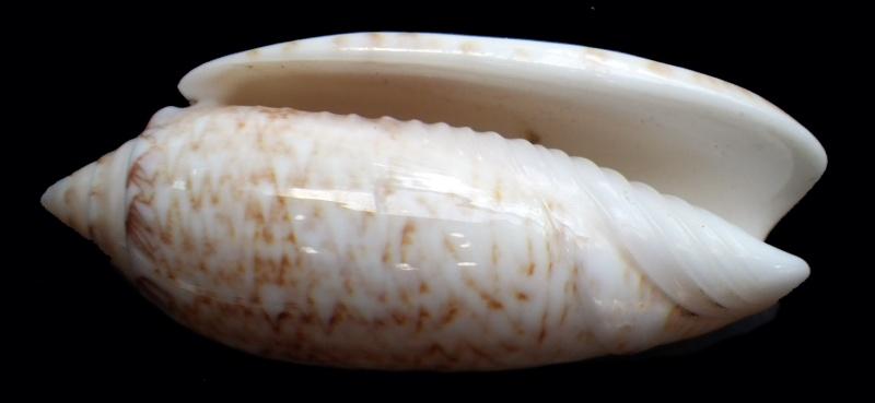 Americoliva bifasciata  Kuster, 1878 - Worms = Oliva bifasciata bifasciata Küster in Weinkauff, 1878· - Page 3 Imgp1117