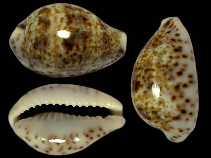 Palmadusta lentiginosa - (J.E. Gray, 1825) Palmad10