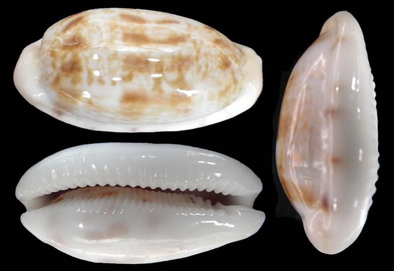 Talostolida teres janae - (Lorenz, 2002) Talost13
