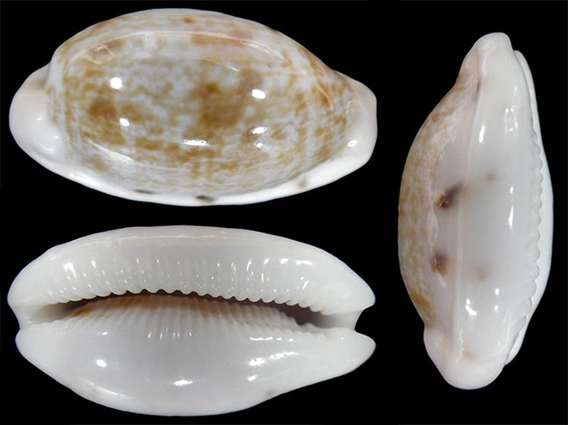 Talostolida teres janae - (Lorenz, 2002) Talost15