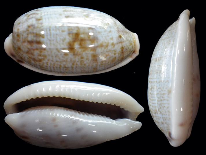 Talostolida pellucens panamensis - (Lorenz, 2002) Talost17