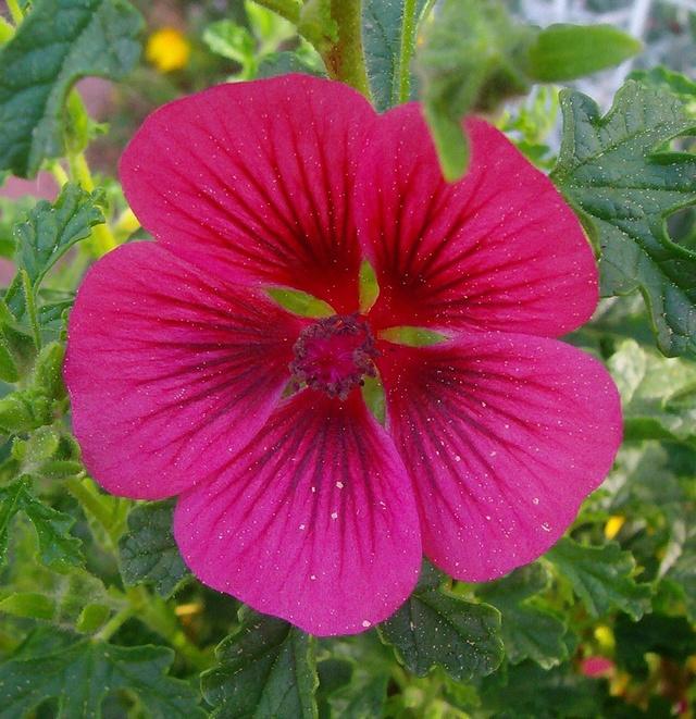 Malvengewächse - ohne Hibiscus - Seite 2 Anisod10