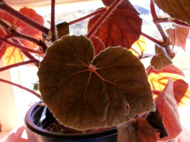 Begonia - Begonien - Seite 4 Begoni12