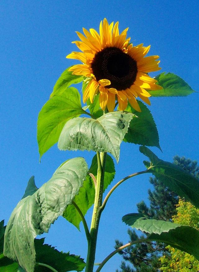Sonnenblumen(artige) - Heliantheae - Seite 2 Helian10