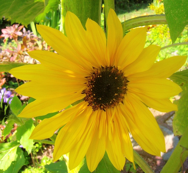 Sonnenblumen(artige) - Heliantheae - Seite 2 Helian12