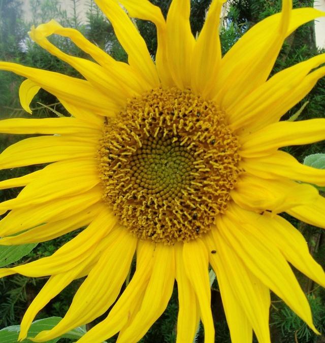 Sonnenblumen(artige) - Heliantheae - Seite 2 Helian13