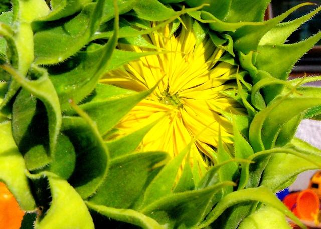 Sonnenblumen(artige) - Heliantheae - Seite 2 Helian14