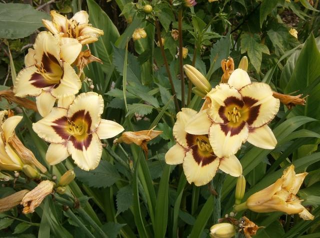 Hemerocallis - Taglilien - Schönheiten im Juni und Juli - Seite 7 Hemero12