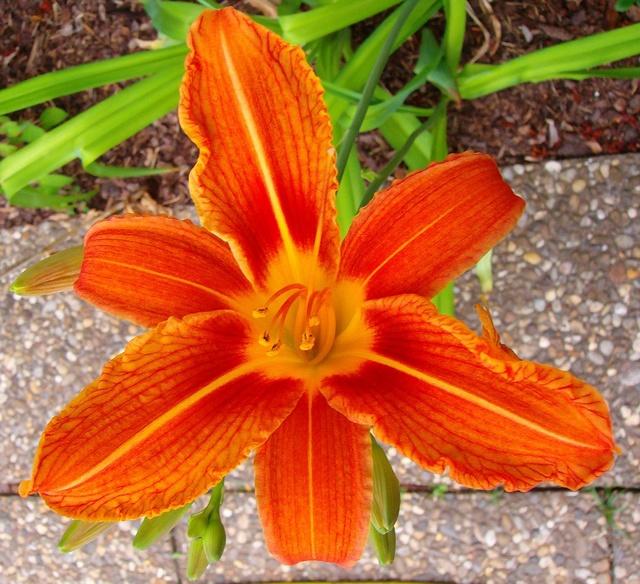 Hemerocallis - Taglilien - Schönheiten im Juni und Juli - Seite 7 Hemero16