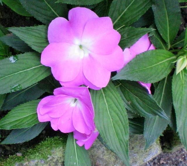 Gattung Impatiens  - Familie Balsaminaceae Impati10