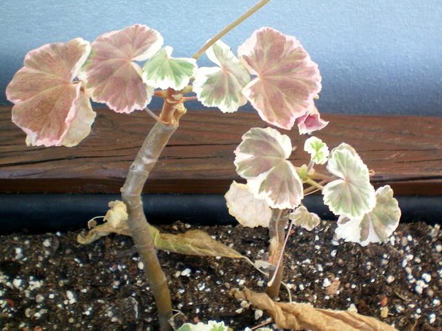 Pelargonium - Pelargonien - alle nichtsukkulenten Arten und Sorten - Aussaat - Stecklinge - Seite 19 Pelarg14