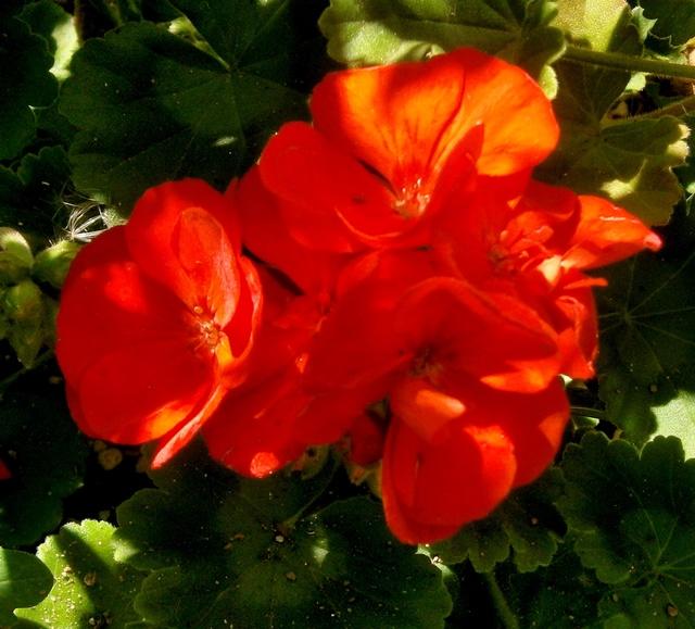 Pelargonium - Pelargonien - alle nichtsukkulenten Arten und Sorten - Aussaat - Stecklinge - Seite 19 Pelarg16