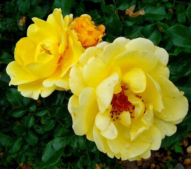 """Rosen - ein Thread für die """"Königin"""" - Seite 10 Rosa_012"""