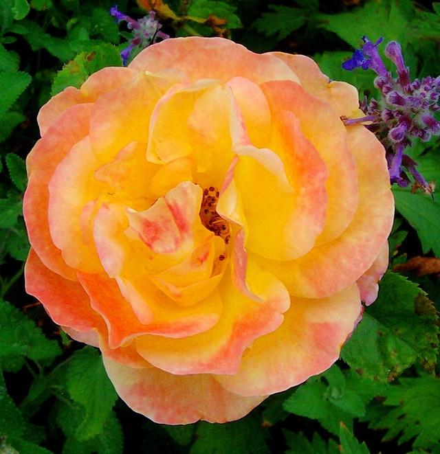 """Rosen - ein Thread für die """"Königin"""" - Seite 10 Rosa_013"""