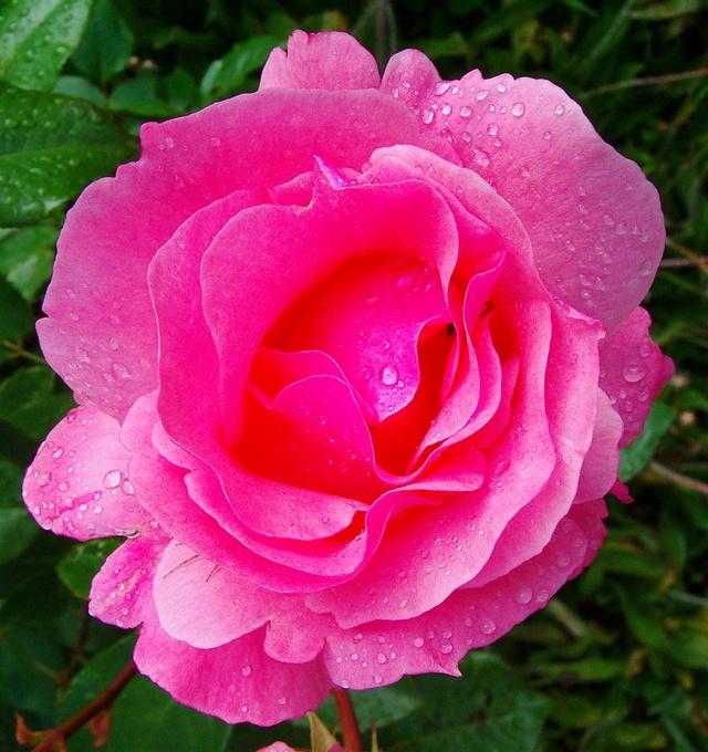 """Rosen - ein Thread für die """"Königin"""" - Seite 10 Rosa_r10"""