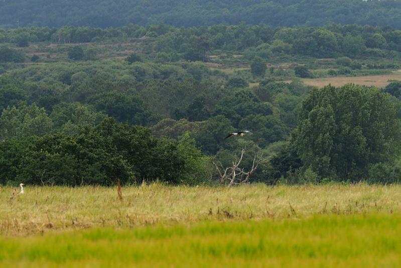 Cigogne blanche (Ciconia ciconia)  Oiseau10