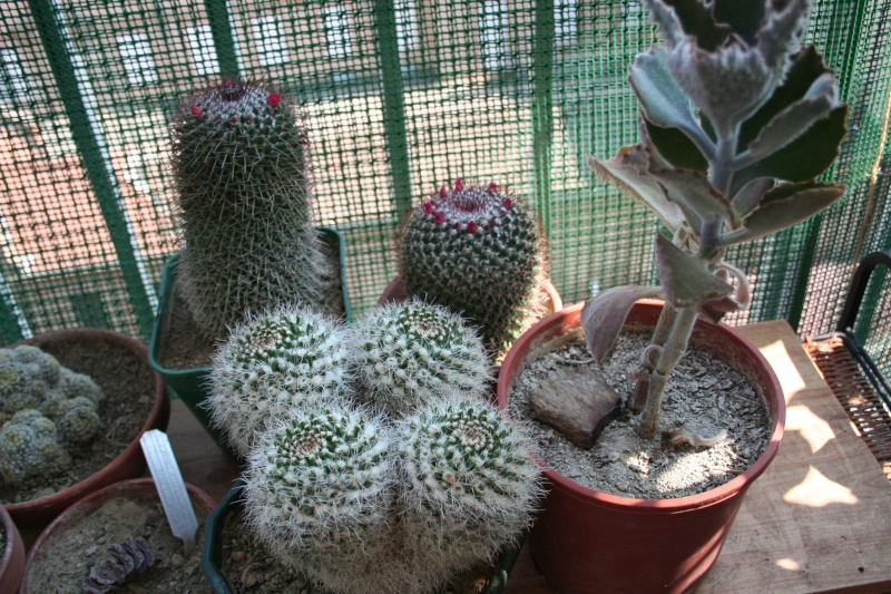 Mes achats : Cylindropuntia, Mammillaria  and co Img_9912