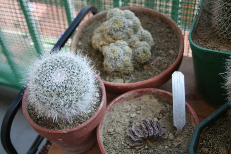 Mes achats : Cylindropuntia, Mammillaria  and co Img_9913