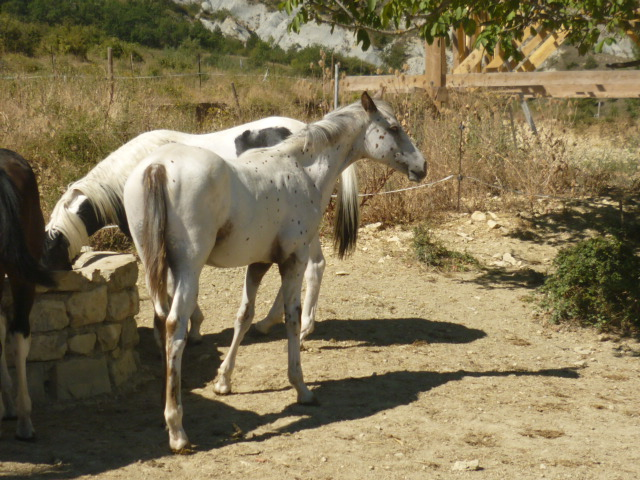 A vendre appaloosa x quarter nommé Cochise Chantana Bren Cochis12