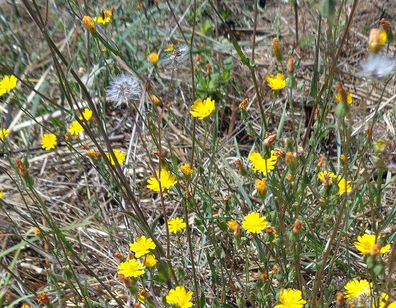 Crepis capillaris - crépis à tige fine Dsc01216
