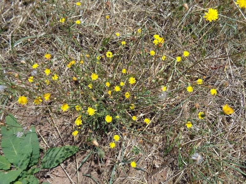 Crepis capillaris - crépis à tige fine Dsc01217