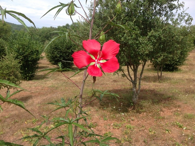 Hibiscus coccineus - Page 2 Image33