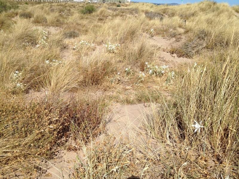 flore du littoral : plages, dunes, vases et rochers maritimes - Page 4 Image35