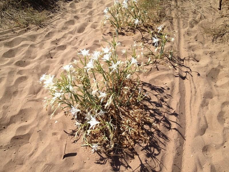 flore du littoral : plages, dunes, vases et rochers maritimes - Page 4 Image36