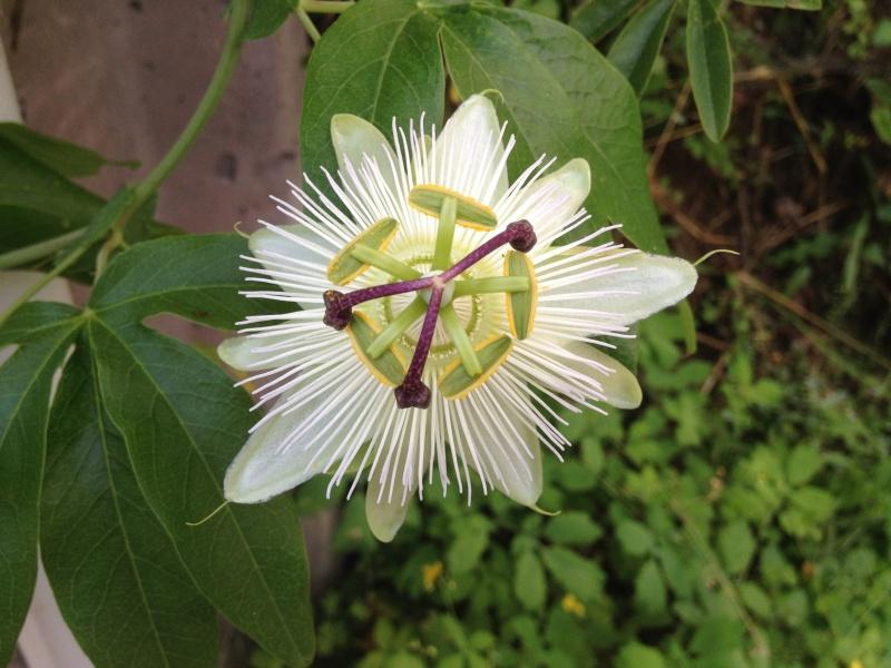 Passiflora caerulea - Page 2 Img_2618