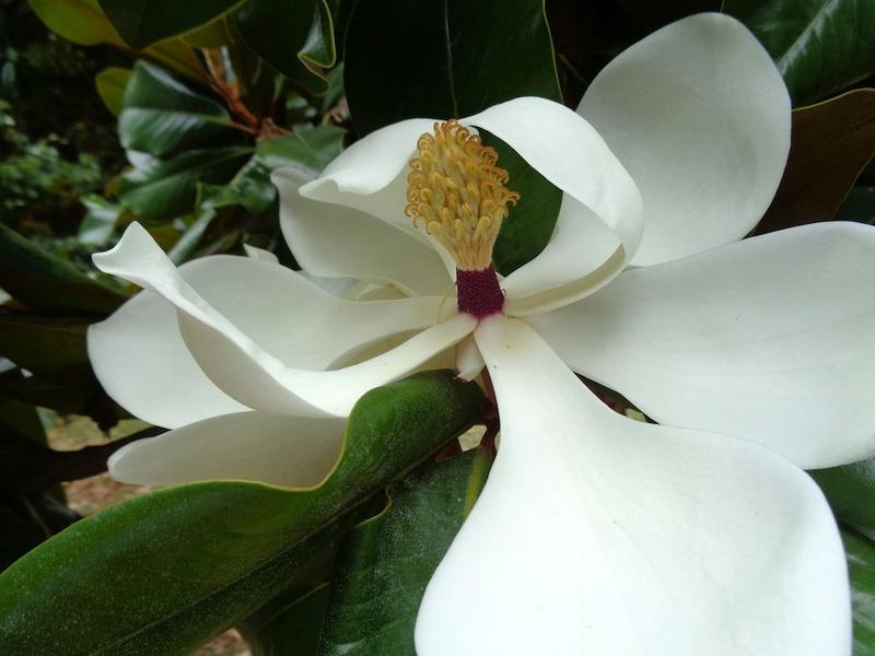 Magnolia grandiflora - Page 2 Magnol10