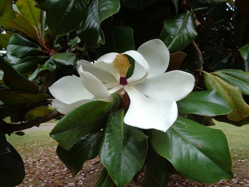 Magnolia grandiflora - Page 2 Magnol11