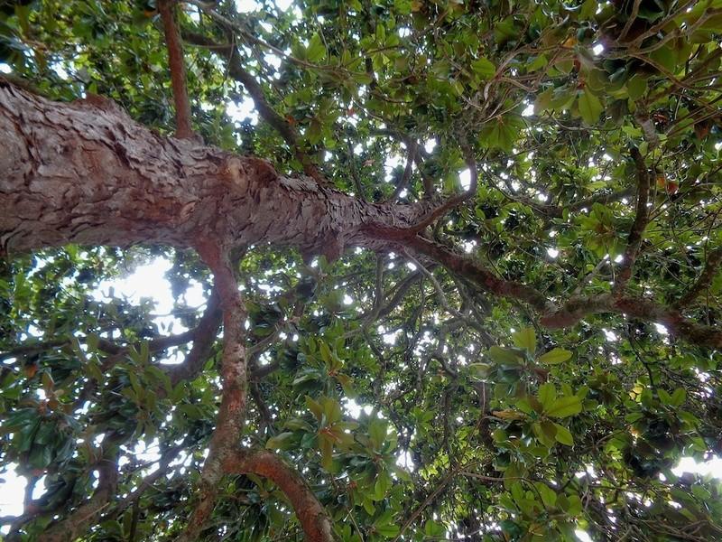 Magnolia grandiflora - Page 2 Magnol12