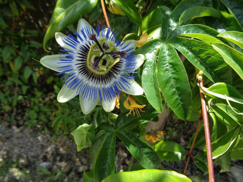 Passiflora caerulea - Page 2 Passif10
