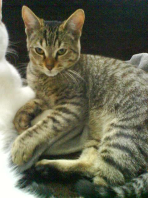 BANJO, chaton de 6 mois à l'adoption (59) -R-VV-LBC- F Dsc02511