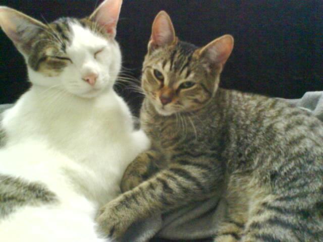 BANJO, chaton de 6 mois à l'adoption (59) -R-VV-LBC- F Dsc02512