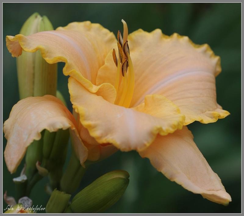 Hemerocallis - Taglilien - Schönheiten im Juni und Juli - Seite 7 Wasser28