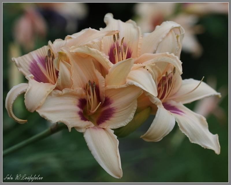 Hemerocallis - Taglilien - Schönheiten im Juni und Juli - Seite 7 Wasser29