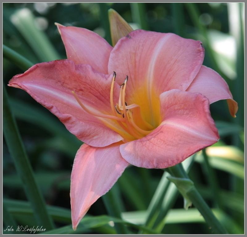 Hemerocallis - Taglilien - Schönheiten im Juni und Juli - Seite 7 Wasser36